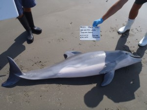 A new NOAA study shows a link between the 2010 Deepwater Horizon accident and a flourish of dolphins deaths along the Gulf coast. (Photo: NOAA)