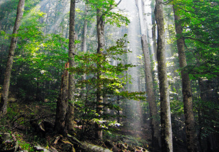 Old growth forests like this can be a rich resource for biomass fuels, but often cannot replace what has been burned as quickly. (Photo: Wikipedia)