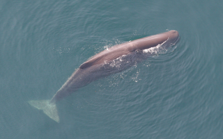 Sperm whale in the Gulf of Mexico. (Photo: NOAA)