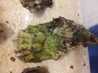 A Florida oyster caught late February with abnormal growths on its shell, sent to Bellona by a fisherman who requested anonymity.