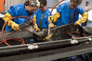 An oiled pelican being cleaned by rescue workers in Louisiana. (Photo:  Wikipedia/International Bird Rescue Research Center)